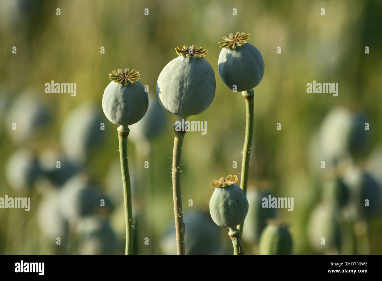 opium poppy heads in green agriculture field - Stock Image