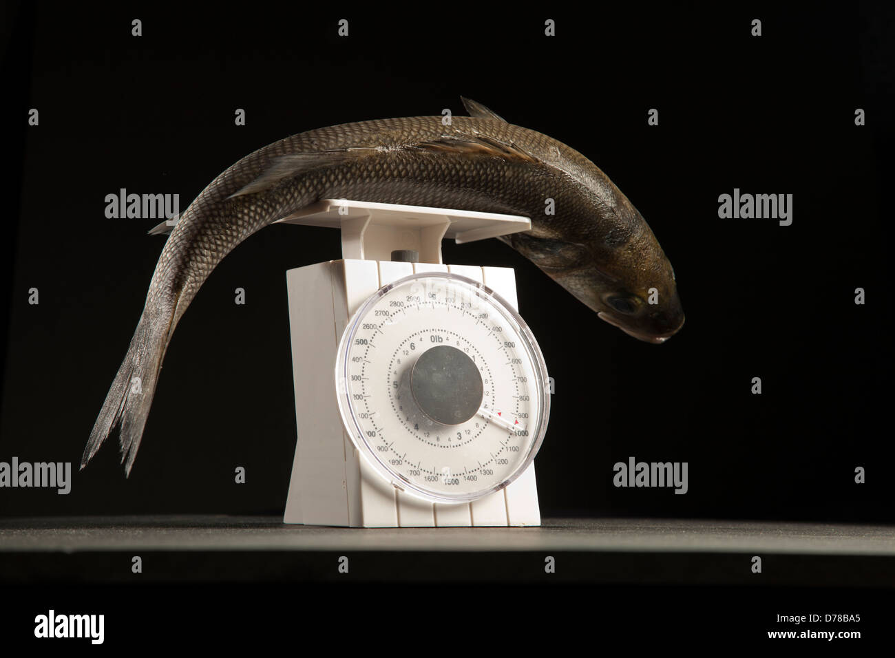 Sea Bass on scales. - Stock Image