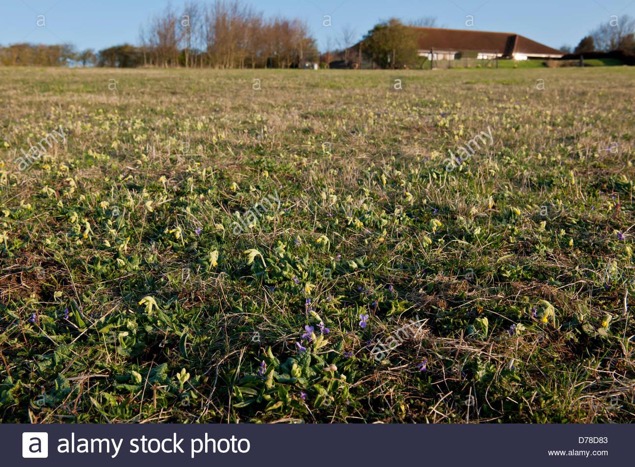 Meadowdown East Sussex Spring downland chalk meadow common dog violet Viola riviniana cowslip Primula veris windy - Stock Image