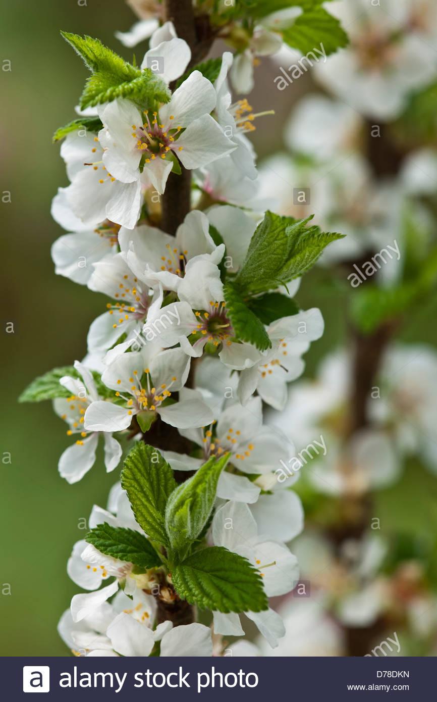 Nanking cherry Prunus tomentosa spring flower shrub white April ...