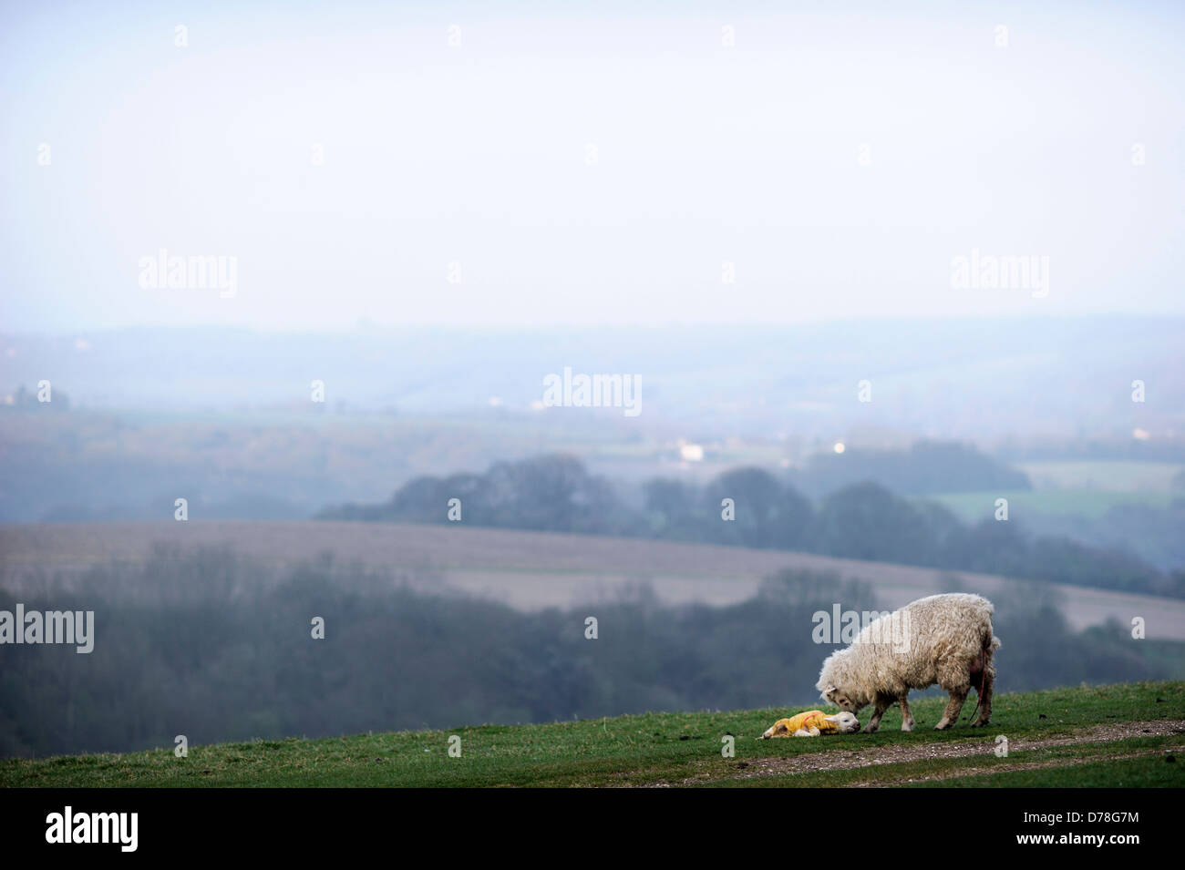 Newborn lamb minutes after birth with it's mother on the South Downs at Chanctonbury in Sussex UK Stock Photo
