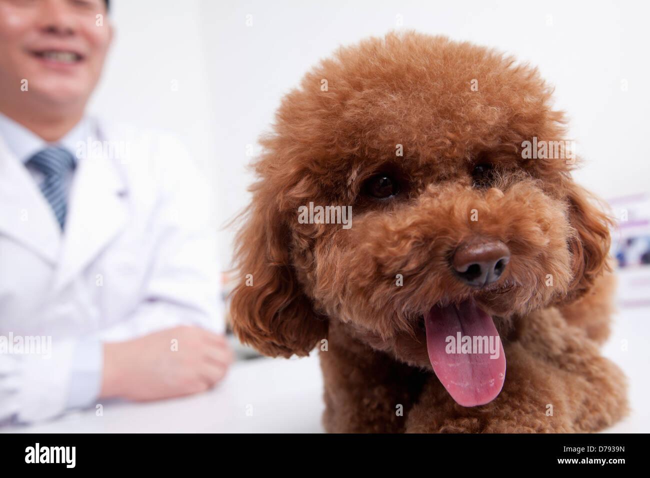 Dog in veterinarian's office - Stock Image