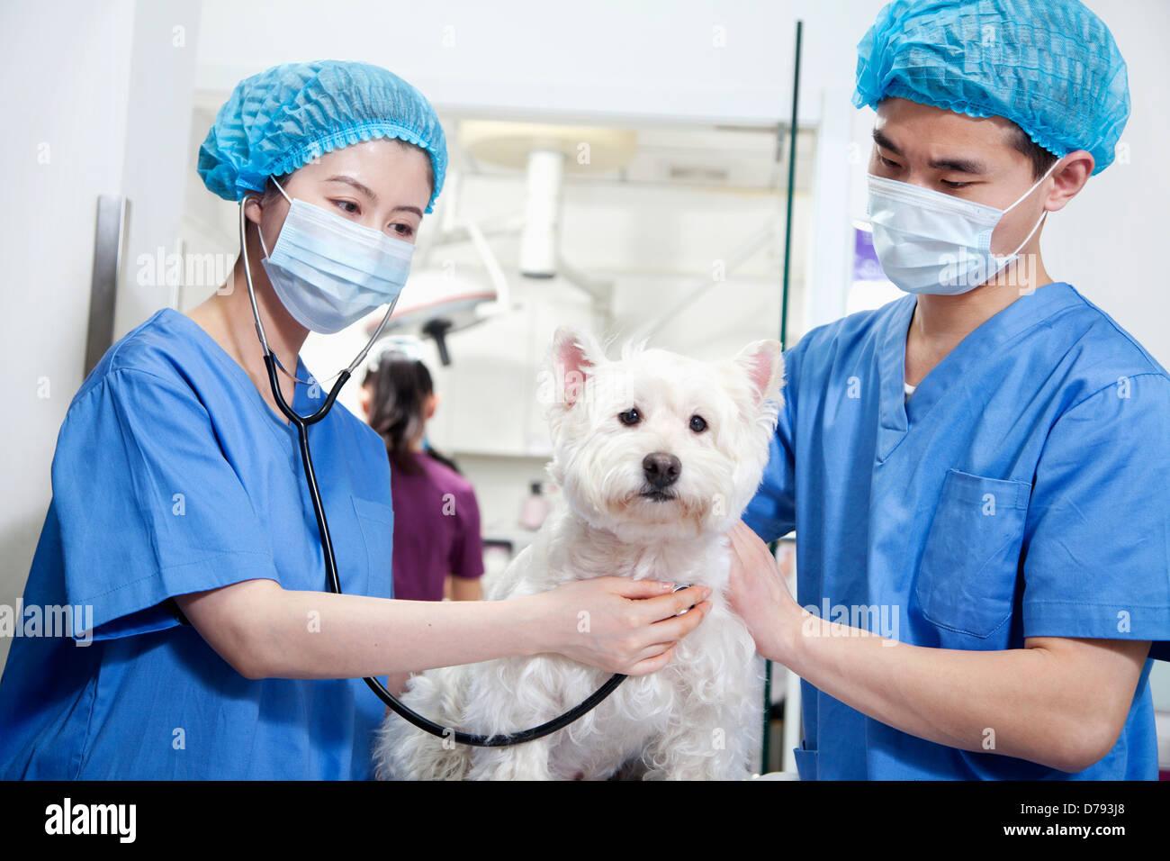 Veterinarians examining dog - Stock Image