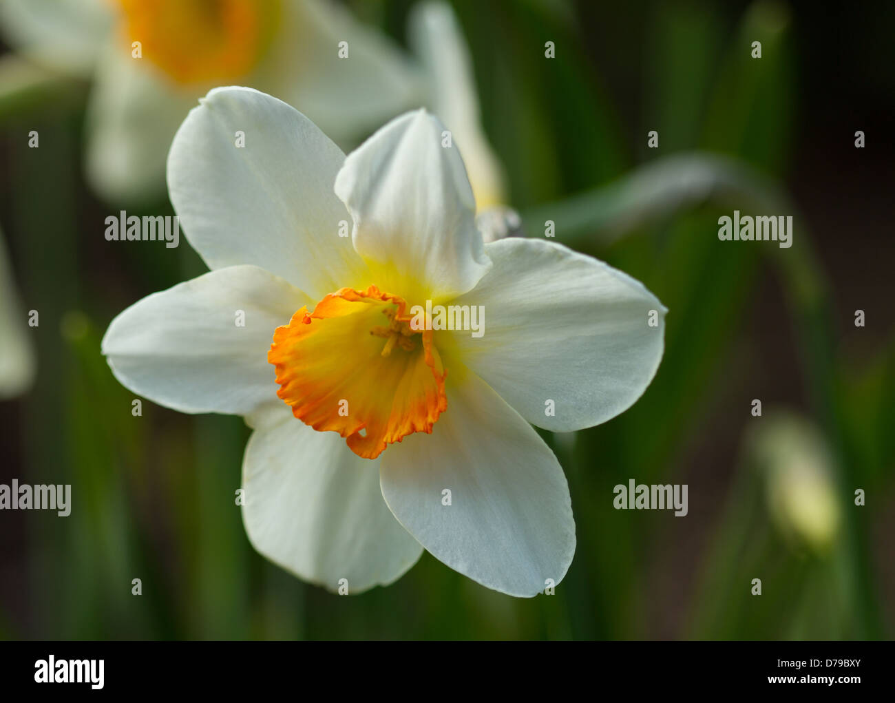 Orange and white narcissus jonquil daffodil flowers stock photo orange and white narcissus jonquil daffodil flowers mightylinksfo