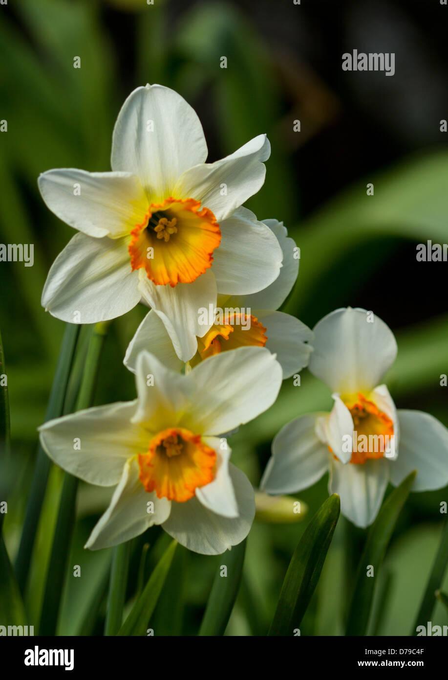 Orange and white narcissus jonquil daffodil flowers stock photo orange and white narcissus jonquil daffodil flowers mightylinksfo