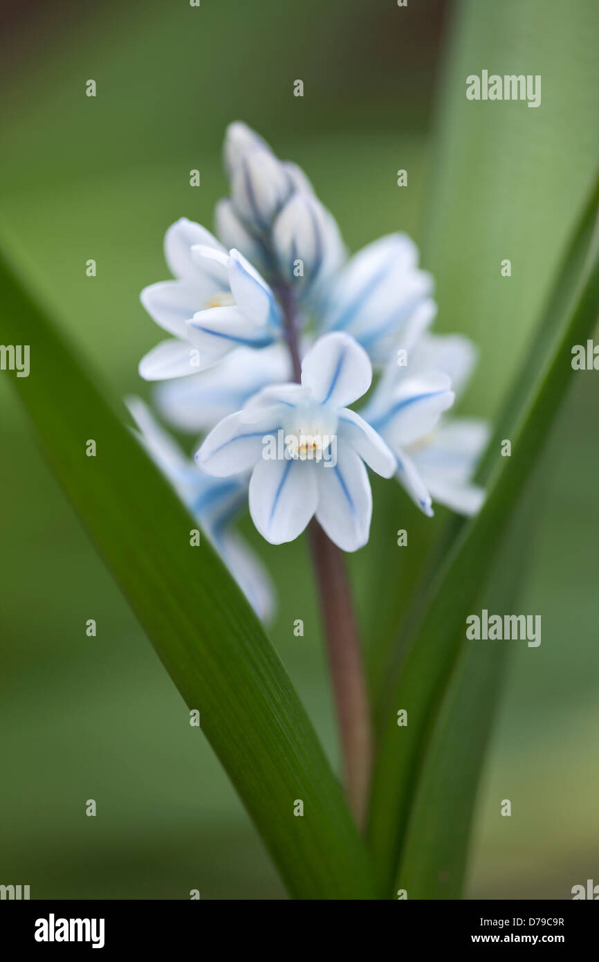 Spike Of Puschkinia Scilloides With Star Shaped White Flowers With