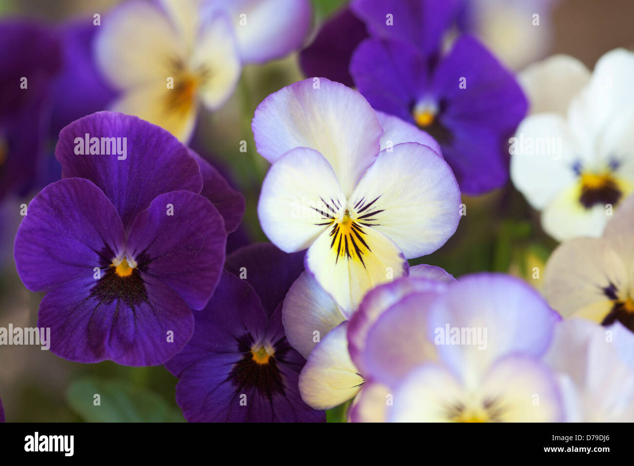 Purple And White Flowers Of The Pansy Viola Sorbet Ocean Breeze