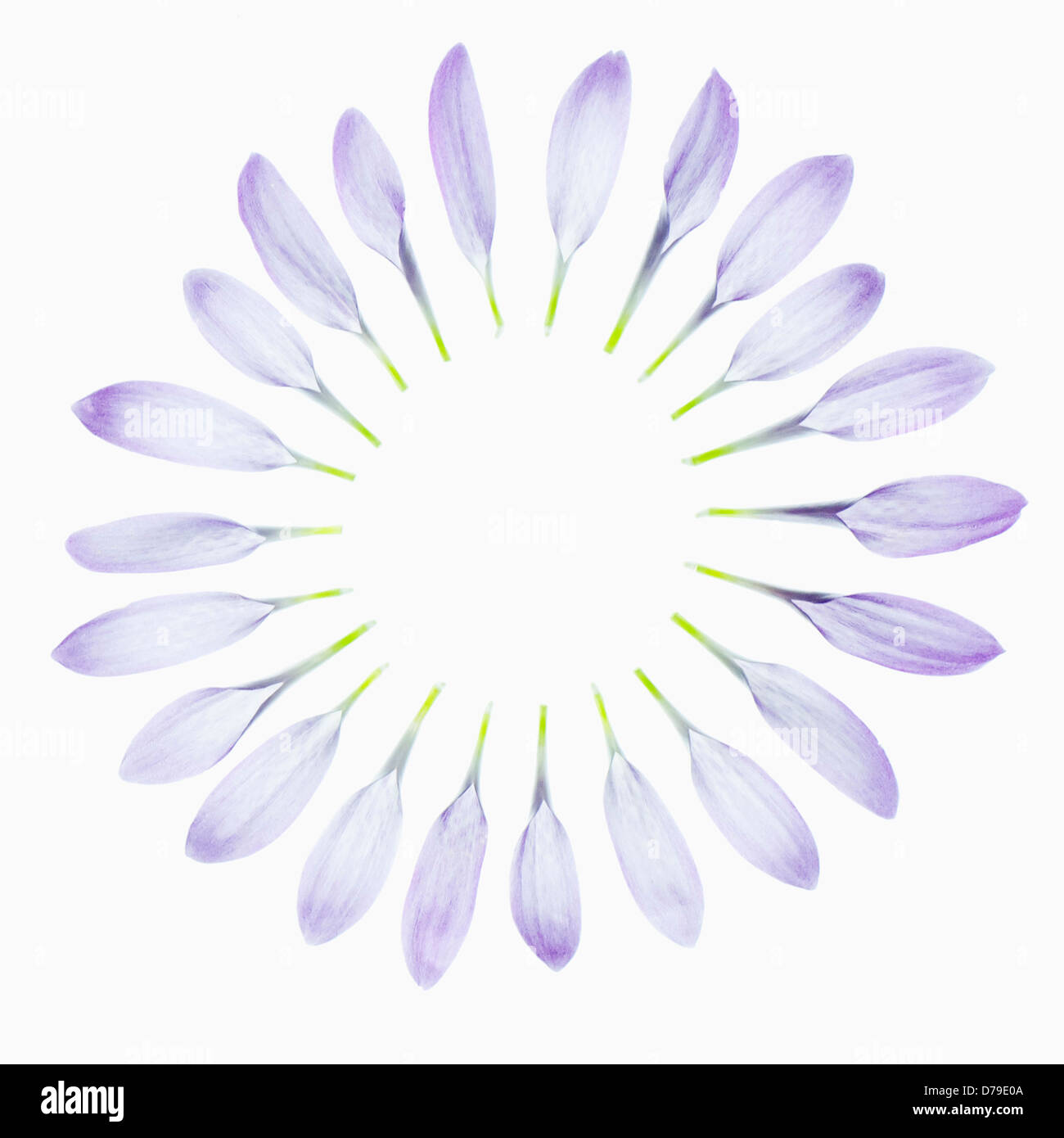 Chrysanthemum cultivar Eleonora Lilac Cremon disbud type. Pale lilac individual petals delicately placed to create - Stock Image
