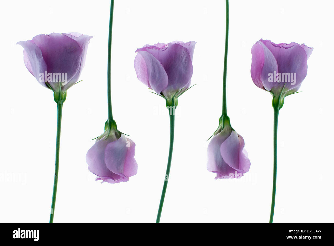 Five individual flowers of Eustoma cultivar arranged in alternating sequence. - Stock Image