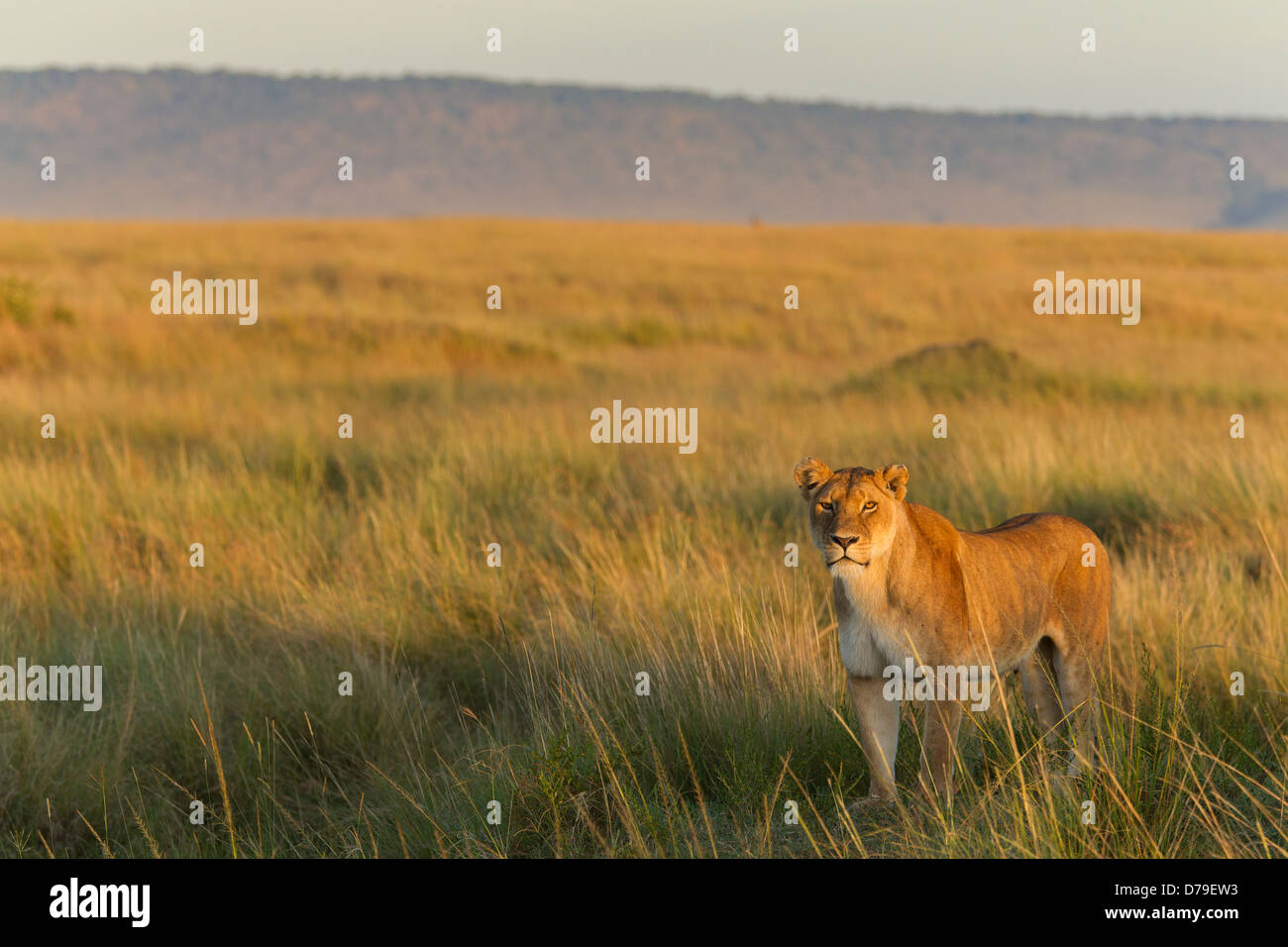 Lioness looking for prey in early morning light - Stock Image