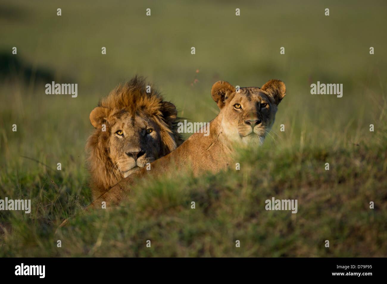 couple of lions in Masai Mara - Stock Image