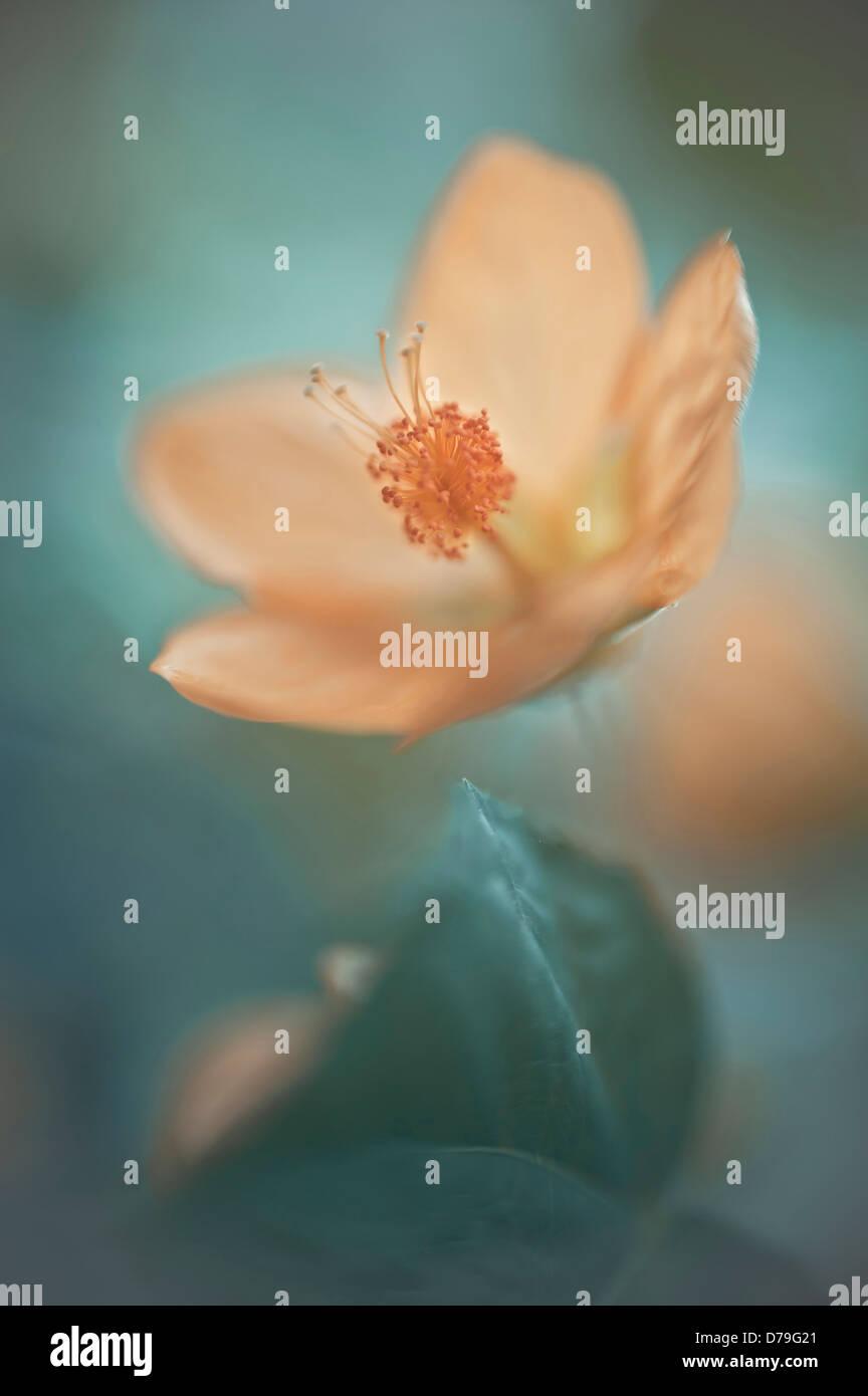 Abutilon x hybridum, Single flower with selective focus Stock Photo