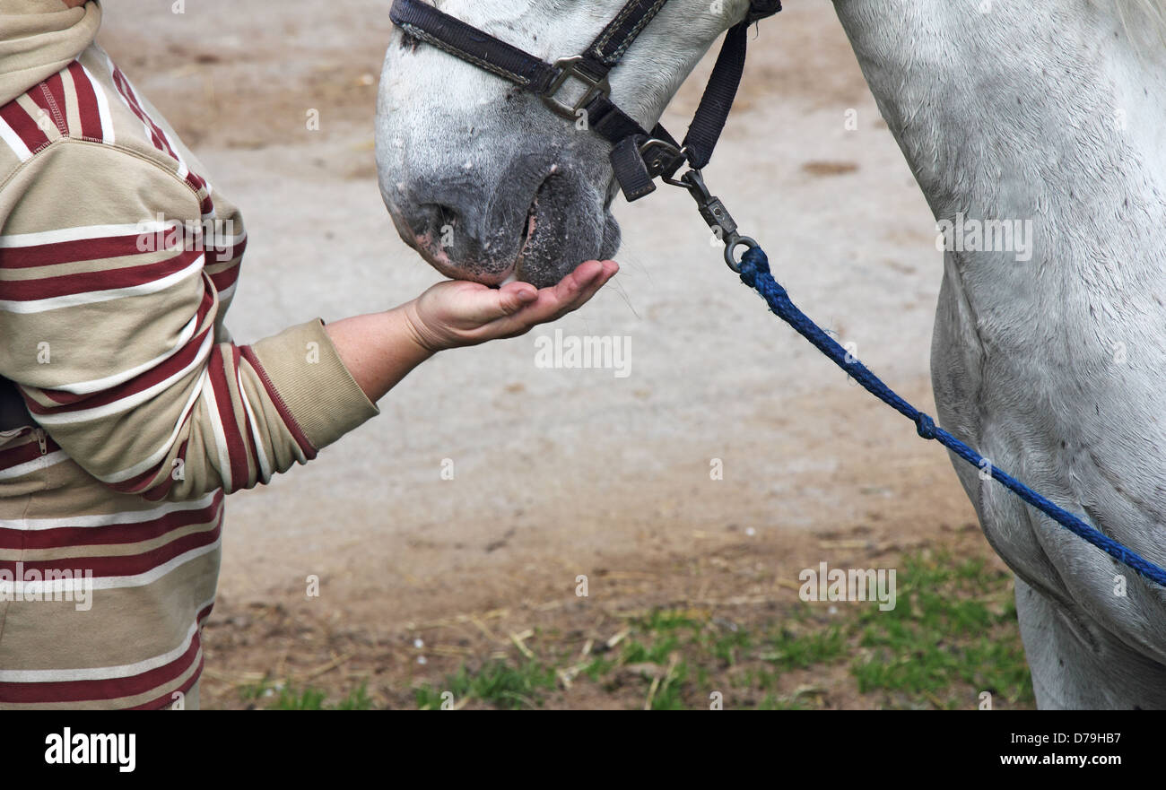 Horsewoman feeding white horse out of hand - Stock Image