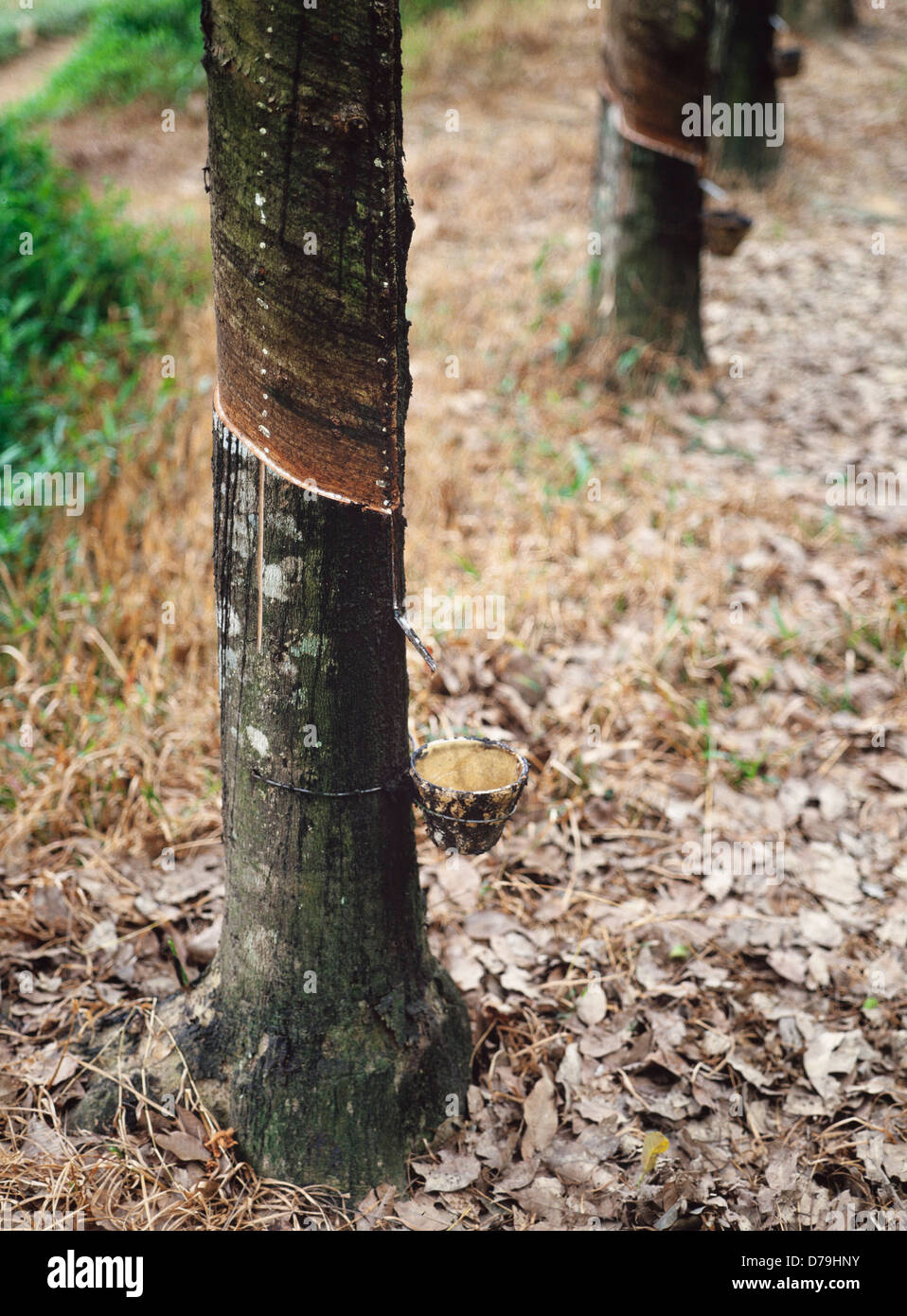 Rubber tapping, liquid latex extraction, Malaysia - Stock Image