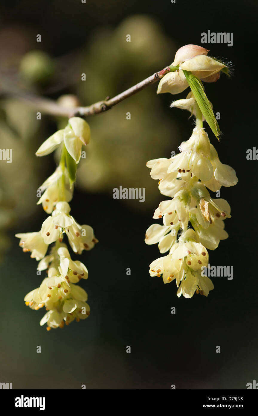 Bell shaped yellow flower stock photos bell shaped yellow flower pendants of pale yellow bell shaped flowers of fragrant winter hazel corylopsis glabrescens hanging mightylinksfo