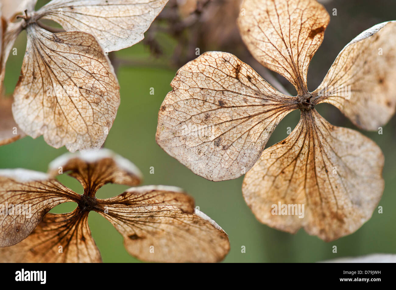Translucent, spent and dried flowers of Hydrangea macrophylla 'Mariesii Perfecta' with network of veins. Stock Photo