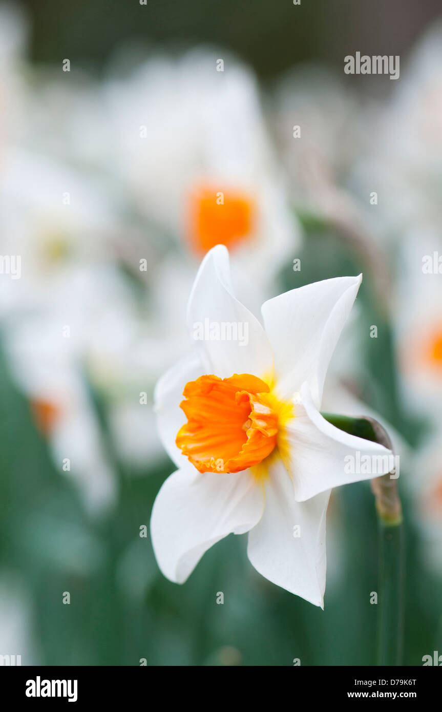 Narcissus With White Petals And Orange Centre Single Daffodil