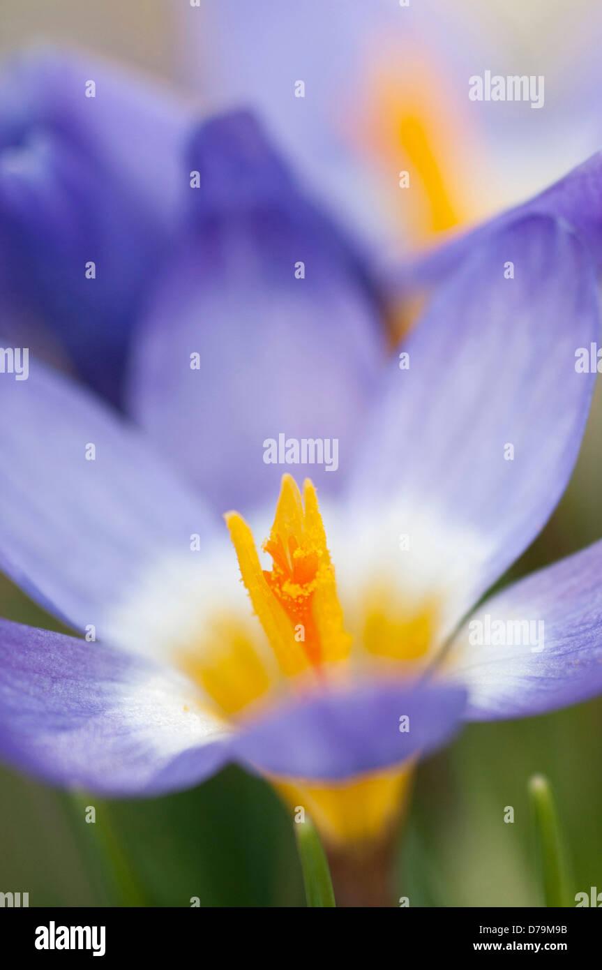 Pale Purple Flower Of Crocus Sieberi With Yellow Throat Encircled By
