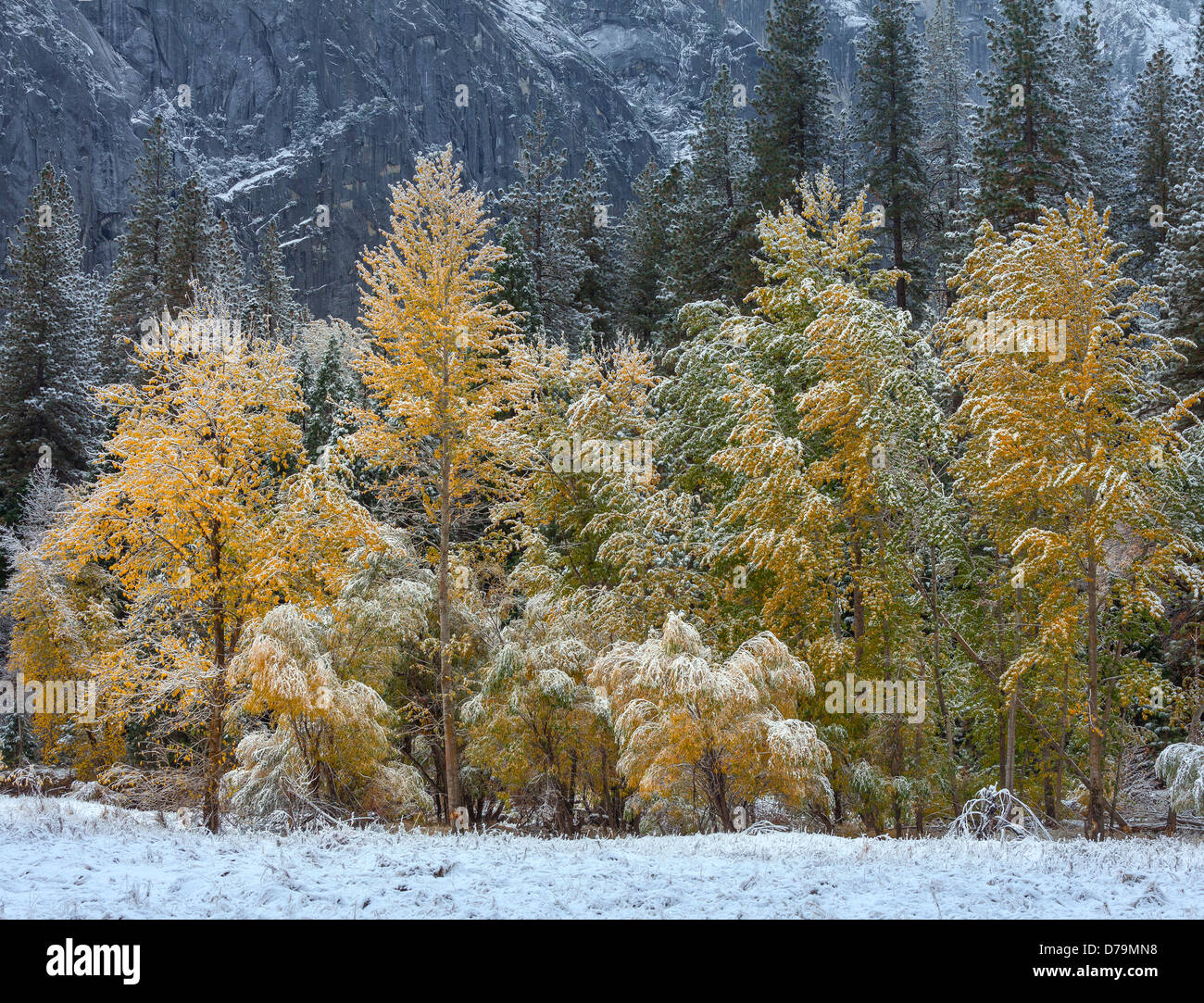 Yosemite National Park, California Trees of El Capitan Meadow showing late fall colors and a dusting of snow, Yosemite - Stock Image