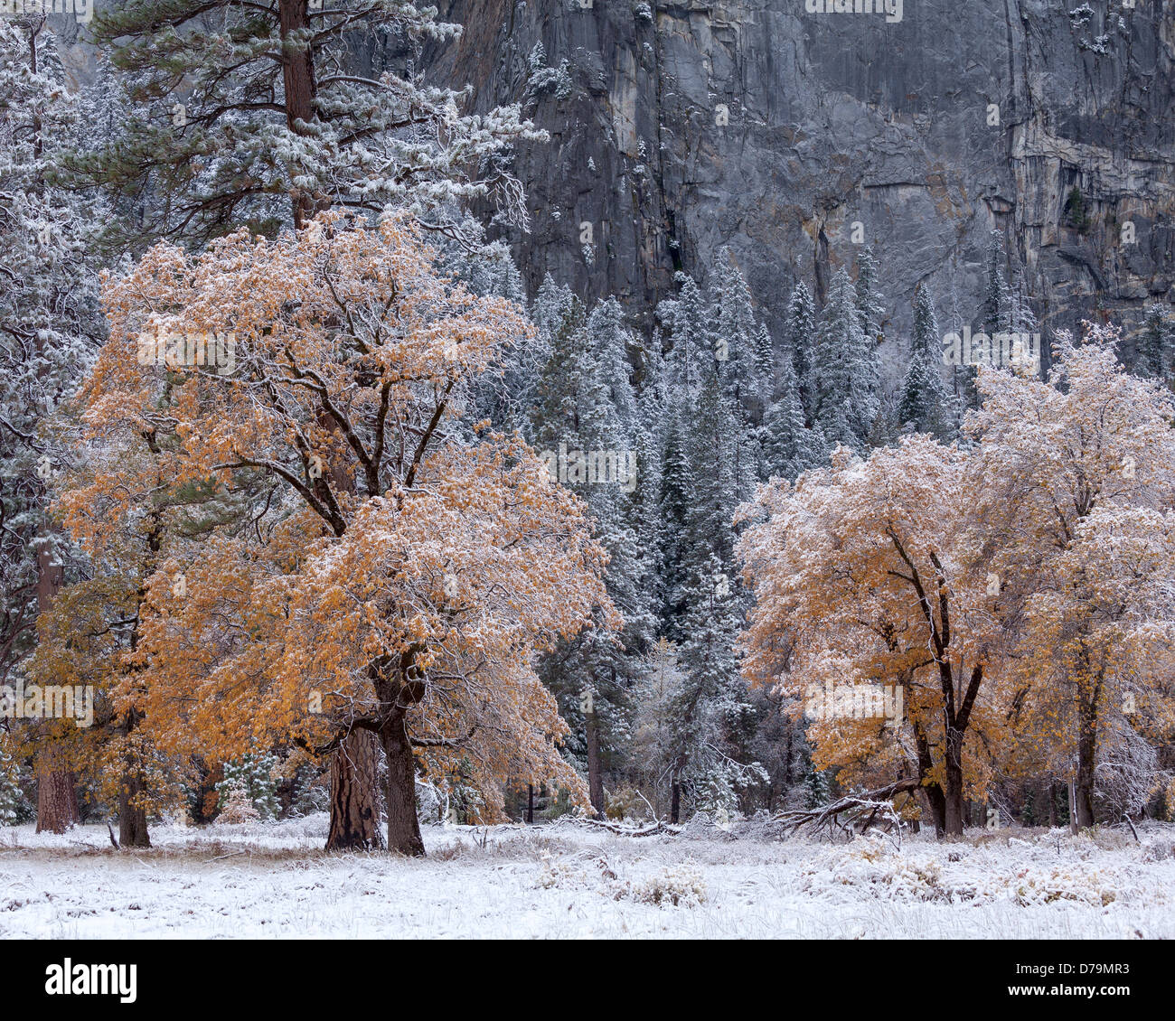 Yosemite National Park, California: Trees of El Capitan Meadow showing late fall colors and a dusting of snow, Yosemite - Stock Image