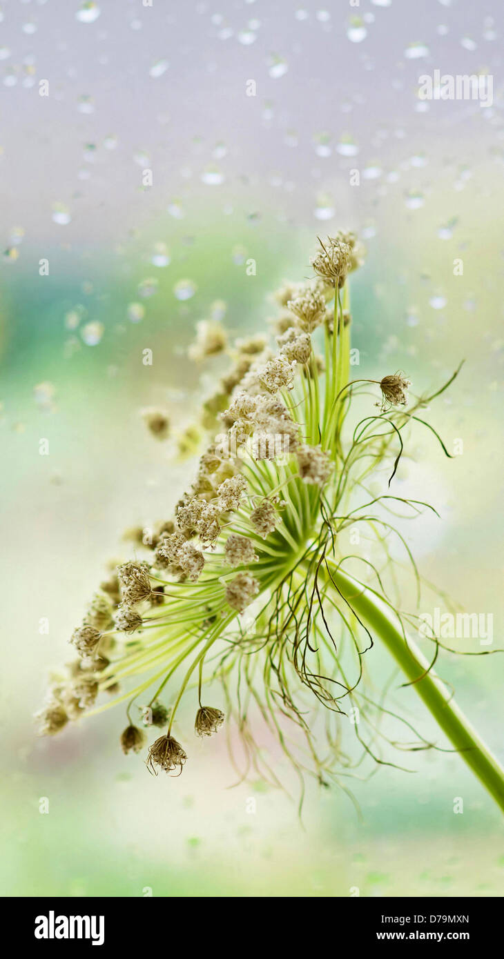 Ammi majus, Bishops weed, Branched umbel of faded, brown flowers against pane of glass with pattern of raindrops. Stock Photo