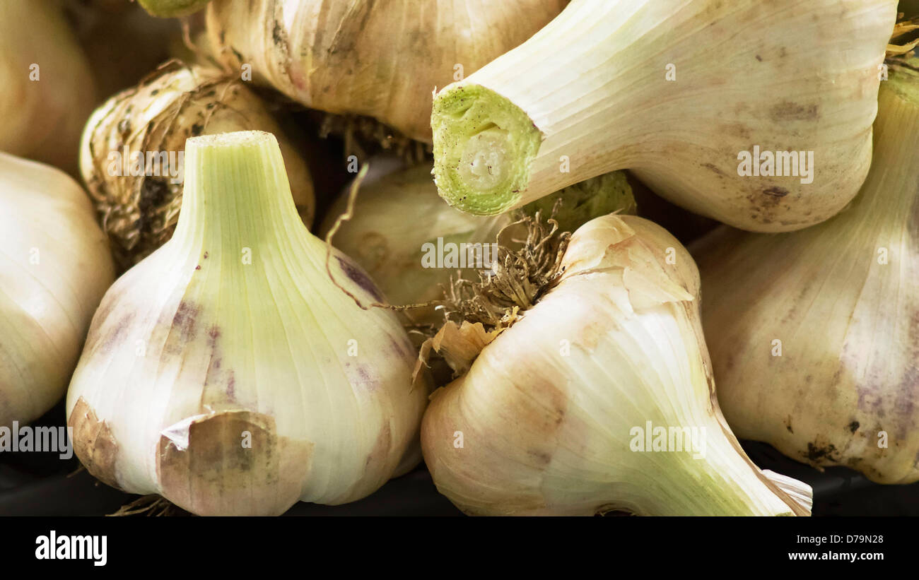 Elephant garlic, Allium ampeloprasum, Close cropped view of garlic bulbs with pale, papery skins and green flushed - Stock Image