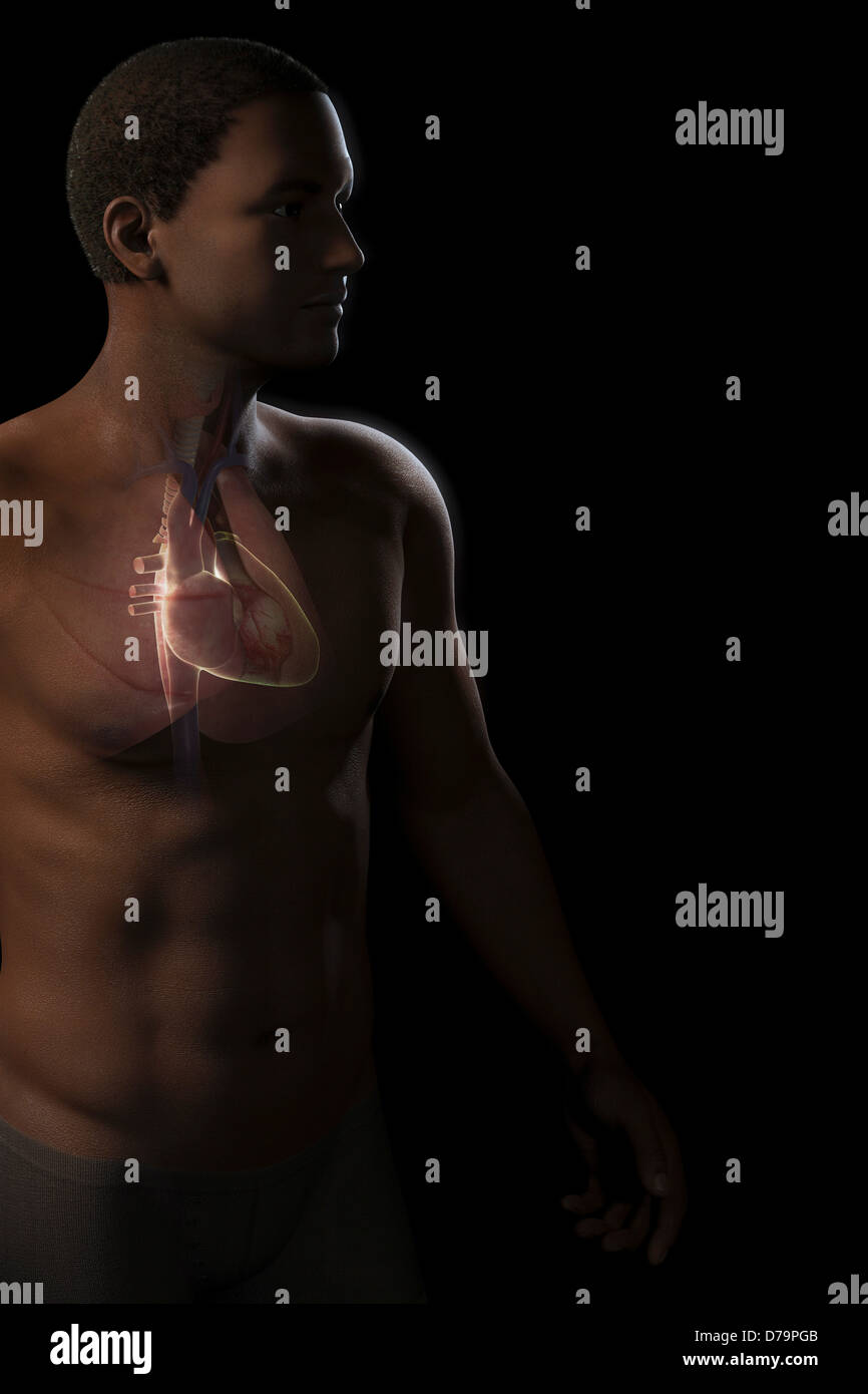Heart within Chest - Stock Image