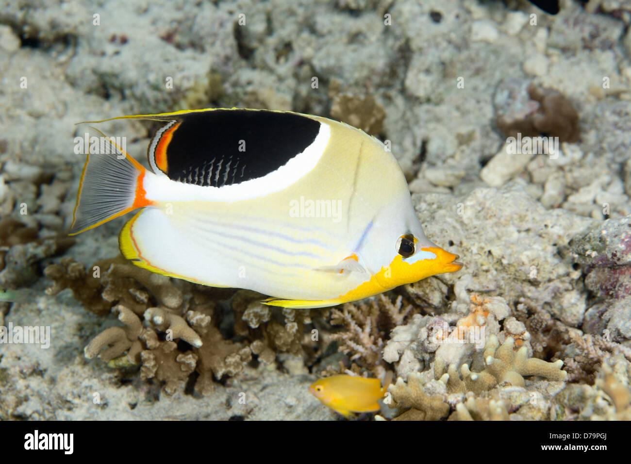 Saddled Butterflyfish, Chaetodon ephippium. - Stock Image