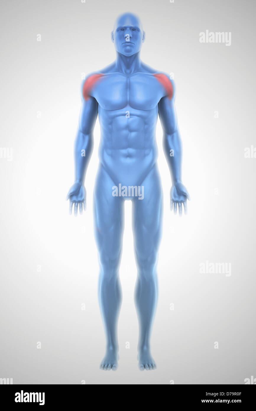 Deltoid Muscles Stock Photo 56149311 Alamy