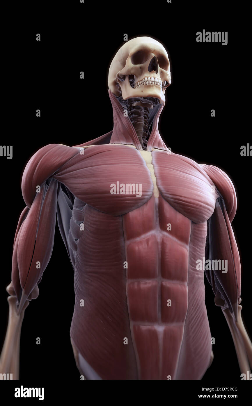 Muscles Upper Body Stock Photo: 56149312 - Alamy
