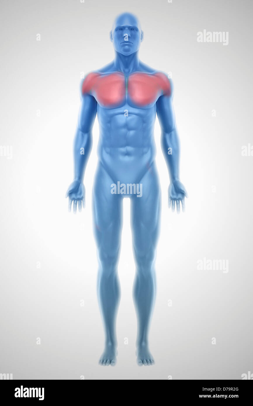 Pectoral Muscles Stock Photos & Pectoral Muscles Stock Images - Alamy