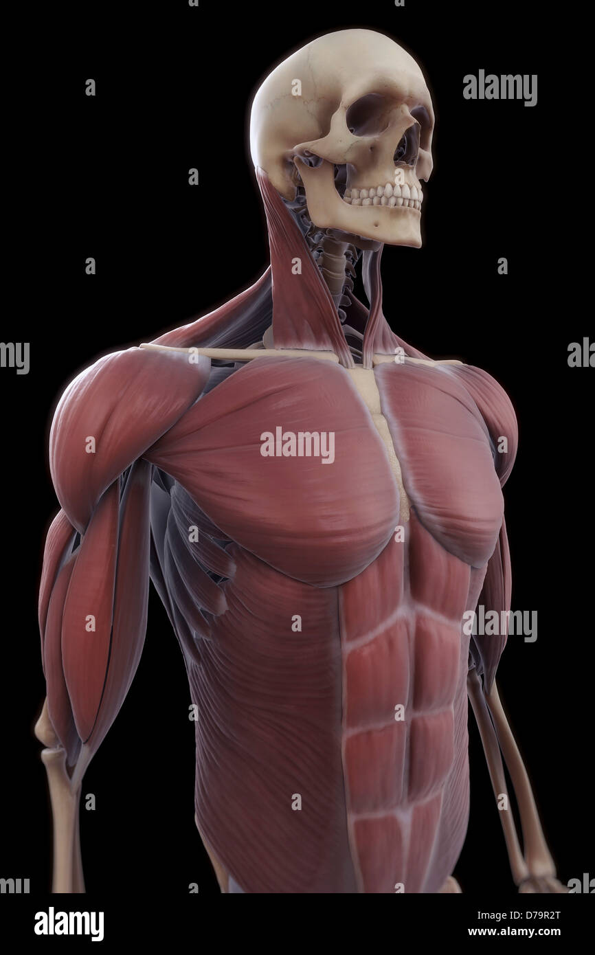 Muscles Upper Body Stock Photo: 56149376 - Alamy