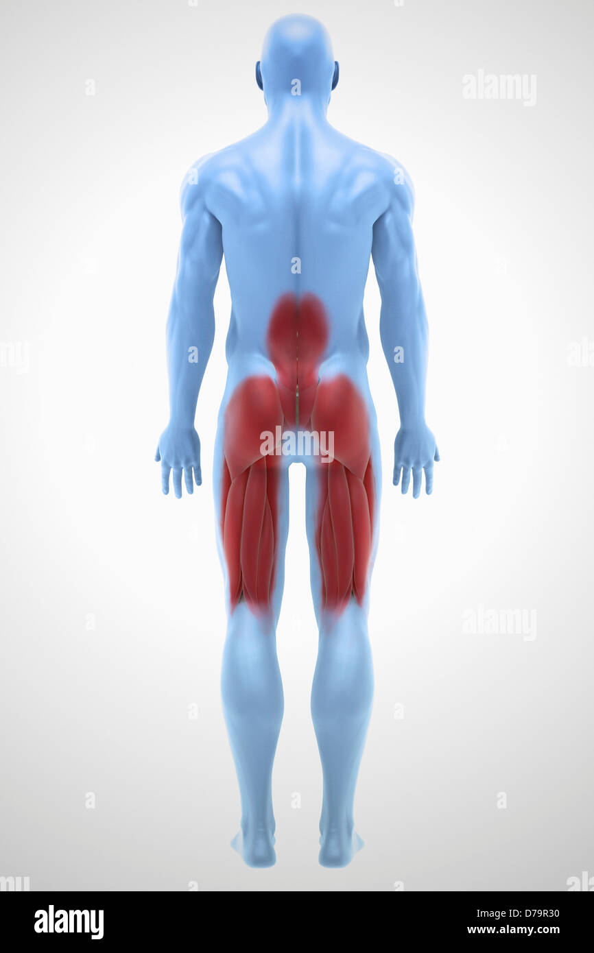 Lower Back Muscles Stock Photos Lower Back Muscles Stock Images