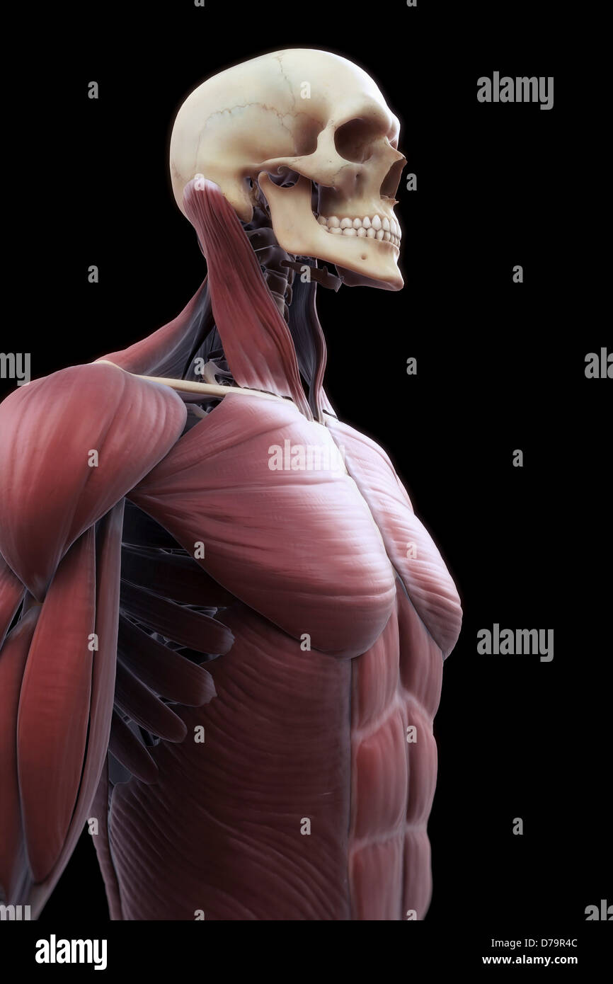 Muscles Upper Body Stock Photo 56149420 Alamy