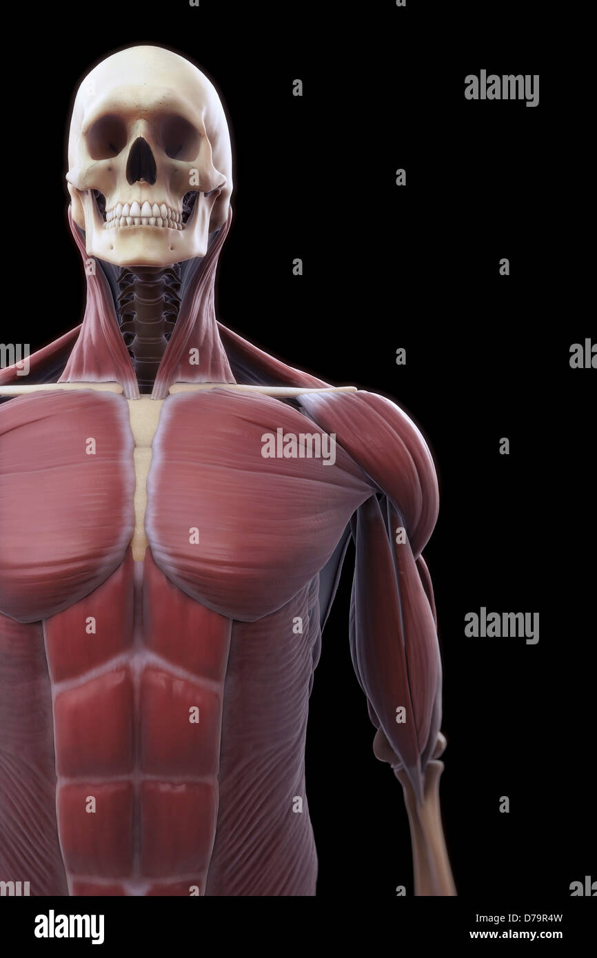 Muscles Upper Body Stock Photo: 56149433 - Alamy