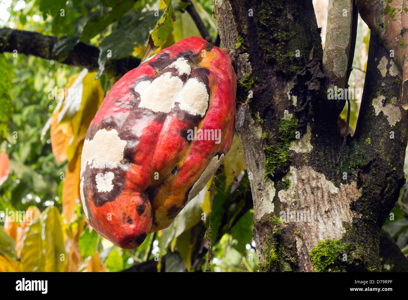 Cocoa pod infected with Frosty Pod Disease caused by the basidiomycete fungus Moniliophthora roreri, Ecuador - Stock Image