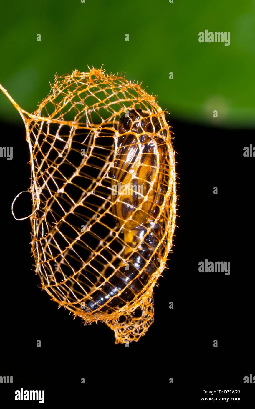 False Burnet Moth pupa (Urodus sp Urodidae), in a cage woven to protect it from predators, Ecuador - Stock Image