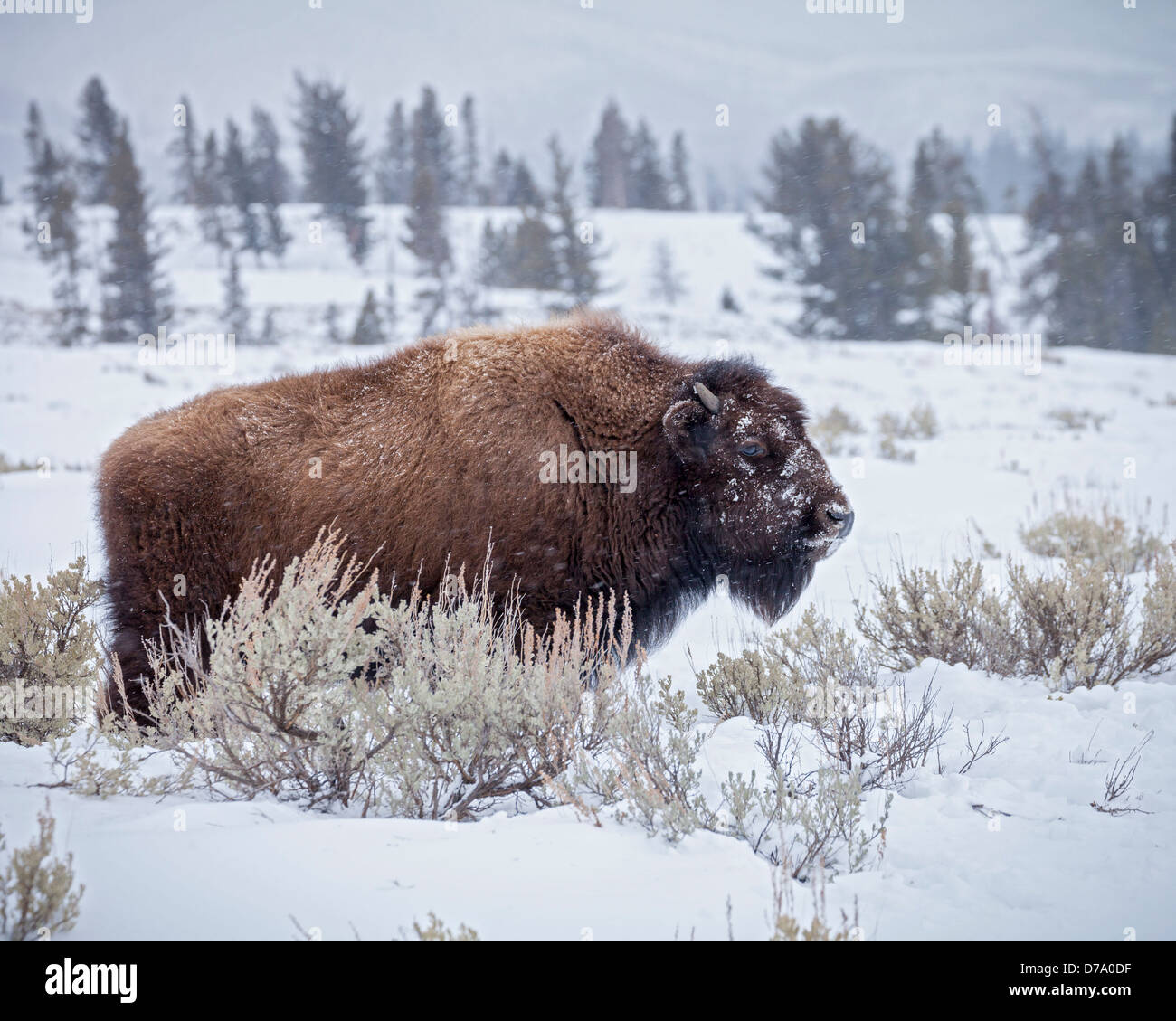Yellowstone National Park, WY: American Bison covered with morning frost in the Lamar Valley, winter - Stock Image