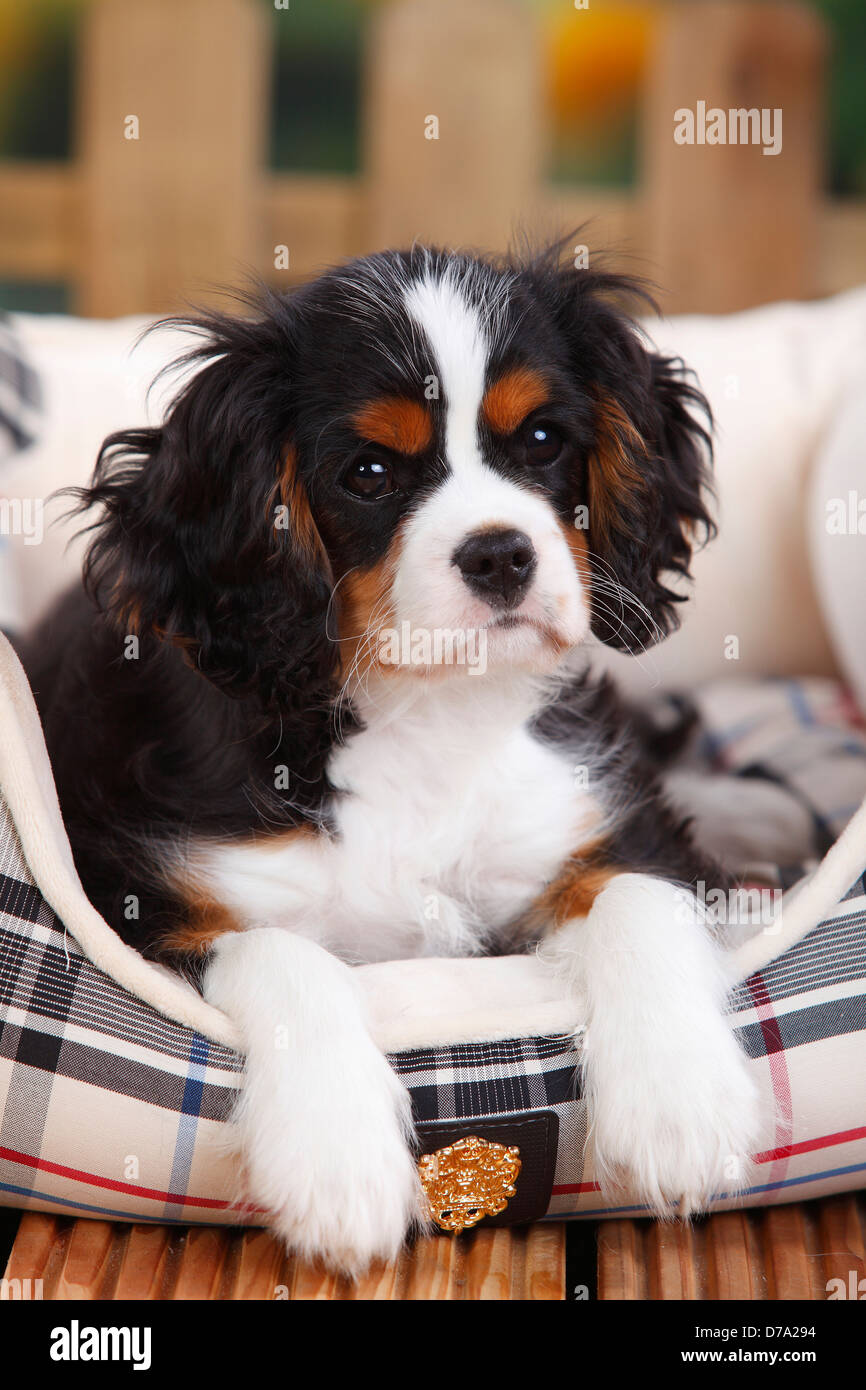 Cavalier King Charles Spaniel Puppy Tricolor 3 Months Male Stock Photo Alamy