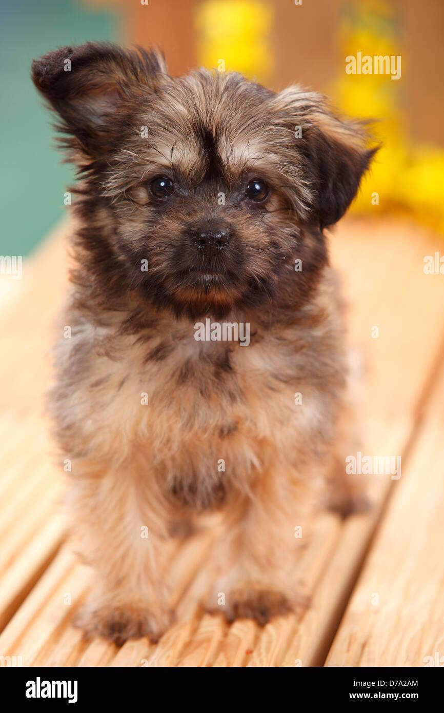 Mixed Breed Dog, puppy, 11 weeks (Pomeranian x Chihuahua) / Pomchi, Chiranian - Stock Image