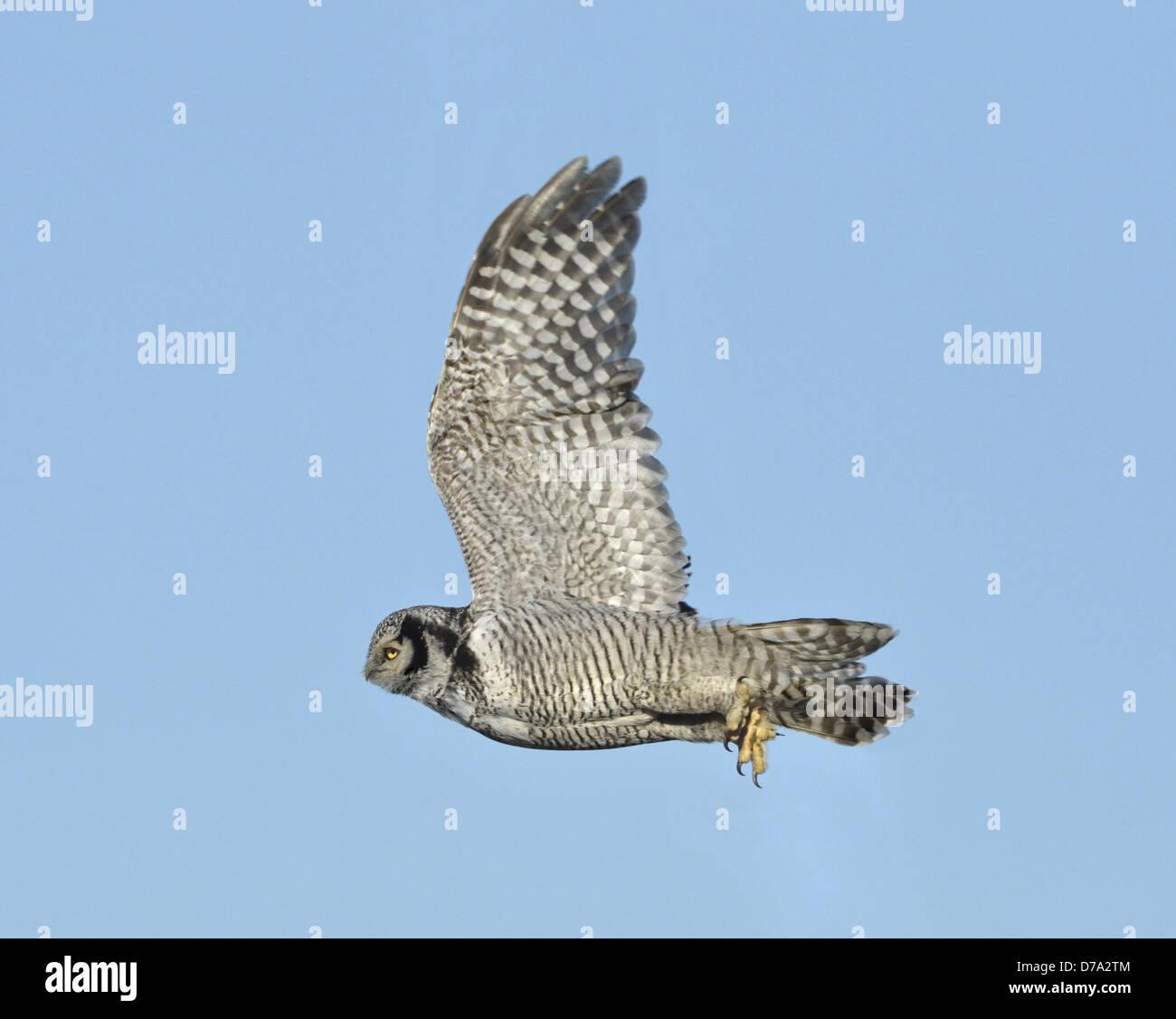 Hawk Owl - Surnia ulula - Stock Image