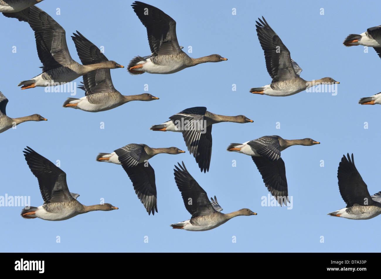Bean Goose, Taiga race - Anser fabalis fabalis - Stock Image