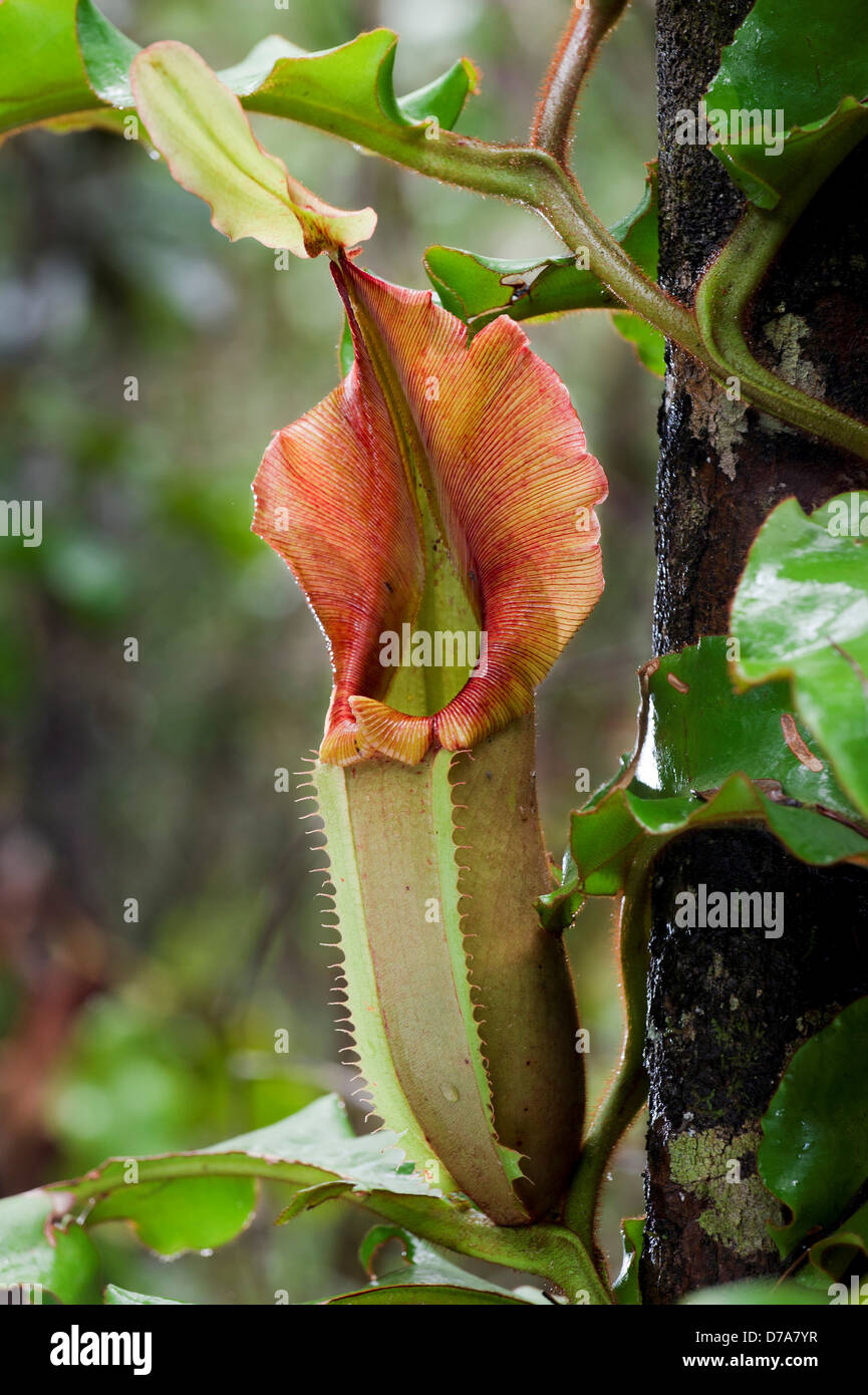 Large aerial pitcher Pitcher plant Nepenthes veitchii in montane mossy heath forest Maliau Basin Sabah State Island Stock Photo