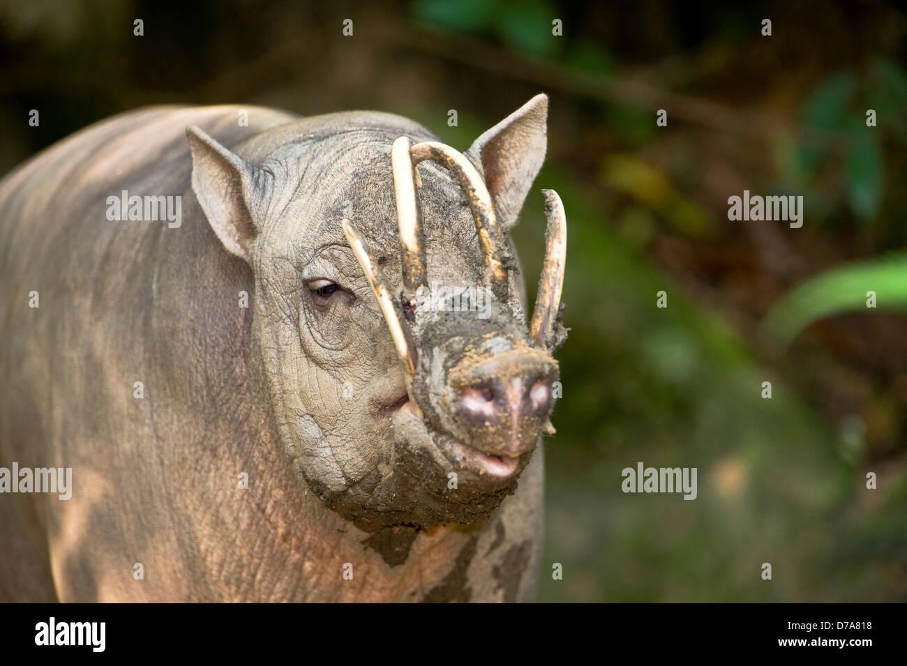 Close-up male Babirusa Babyrousa celebensis Singapore Zoo Singapore - Stock Image