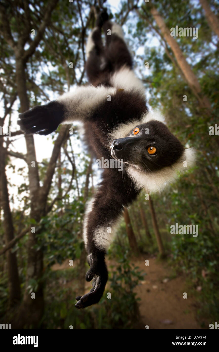 Adult Black White Ruffed lemur Varecia variegata in suspensory posture Andasibe-Mantadia National Park Madagascar - Stock Image