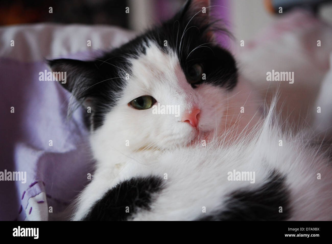 Long Haired Black White Cat High Resolution Stock Photography And Images Alamy