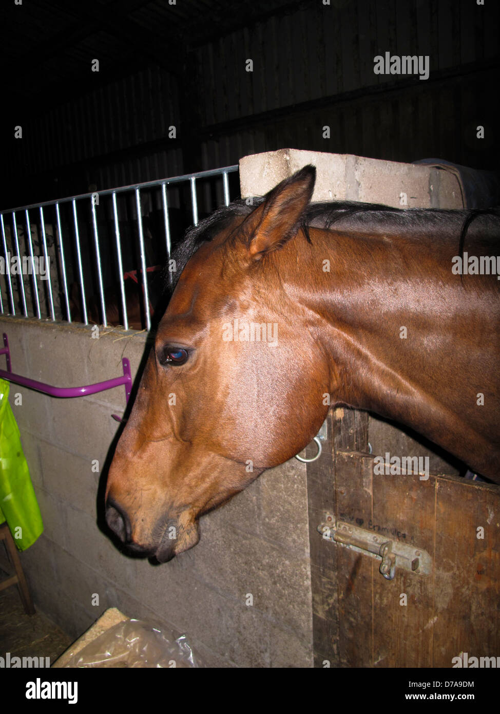 Bad tempered horse with ears pinned back leaning over stable door - Stock Image