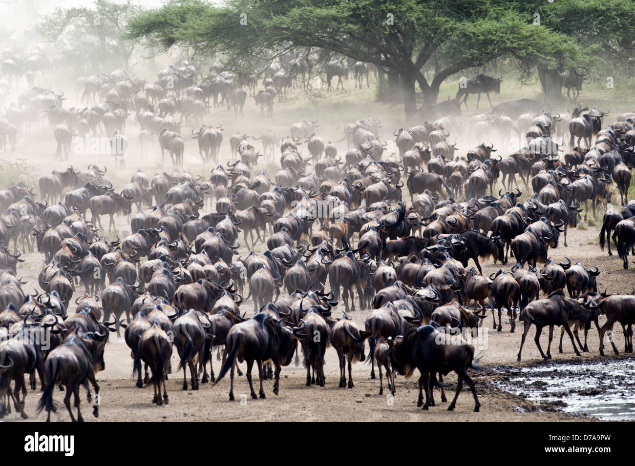 Massing herds White-Bearded wildebeest Connochaetes taurinus albojubatus on migration Ndutu area Ngorongoro Conservation Stock Photo