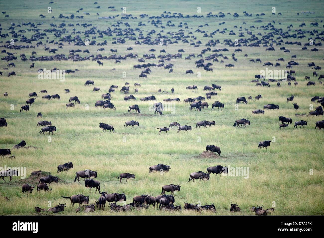 Massing herds White-Bearded wildebeest Connochaetes taurinus albojubatus on migration Ndutu area Ngorongoro Conservation Stock Photo