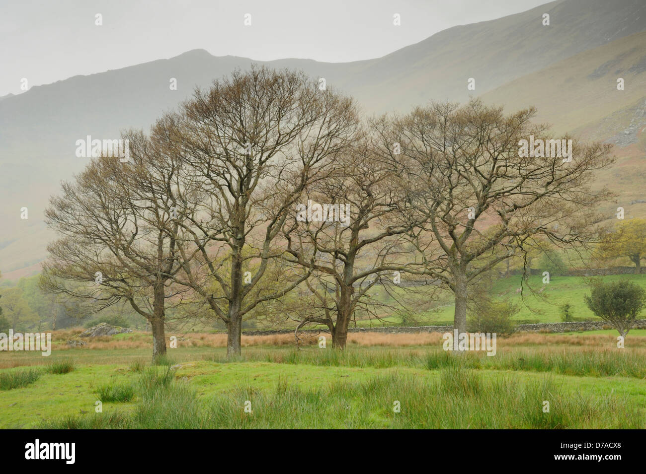 Four trees in bud in Manesty Woods with Black Crag and Derwent Fells behind on a wet and misty day - Stock Image